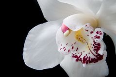 Close up white orchid isolated on black Stock Image