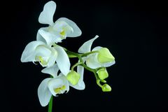 Close-Up Of White Orchid Isolated On Black Royalty Free Stock Photography