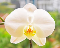 Close up of White Orchid Phalaenopsis Stock Photo