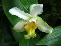 Close up of a White Orchid. Singapore - July 2015 Close up image of a white orchid with yellow lip in the Singapore National Orchid Gardens stock photos