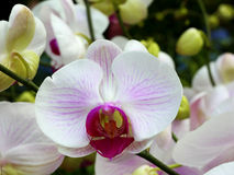 Close up of white orchids Royalty Free Stock Photo