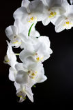 Close up of white orchids against black Stock Image