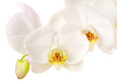 Close-up of white orchids flowers Stock Images