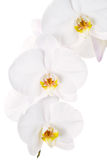 Close-up of white orchids flowers Royalty Free Stock Photos