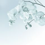 Close-up of white orchids on light background Stock Image