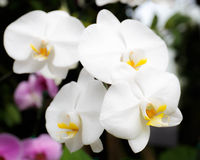 Close-up of white orchids (phalaenopsis) against dark background Stock Image