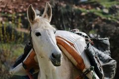 Close up a white Packhorse. Near Chefchaouen, north of Morocco Royalty Free Stock Photography