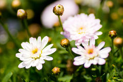 Close up of white and pale pink daisies Stock Photos