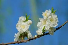 White peach flower. The close-up of white peach flower stock photo
