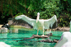 Close-up of a white pelican bird opening wings. In a pool in the zoo in Zhuhai, China Royalty Free Stock Photo