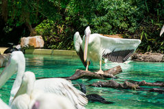 Close-up of a white pelican bird opening wings. Close-up of a white pelican bird is opening wings and standing on wood in a pool in the zoo in Zhuhai, China Stock Photography