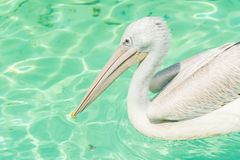 Close-up of a white pelican bird swimming. Close-up of a white pelican bird is swimming in a pool in the zoo in Zhuhai, China Stock Photography