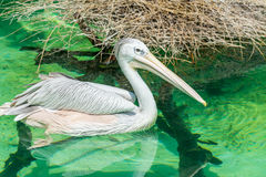 Close-up of a white pelican bird swimming. Close-up of a white pelican bird is swimming in a pool in the zoo in Zhuhai, China Stock Images