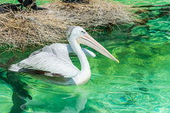 Close-up of a white pelican bird swimming. Close-up of a white pelican bird is swimming in a pool in the zoo in Zhuhai, China Stock Image