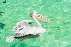 Close-up of a white pelican bird swimming. Close-up of a white pelican bird is swimming in a pool in the zoo in Zhuhai, China Stock Photos