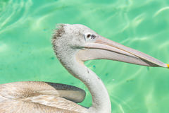 Close-up of a white pelican bird swimming. Close-up of a white pelican bird is swimming in a pool in the zoo in Zhuhai, China Royalty Free Stock Photography