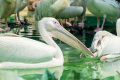 Close-up of a white pelican bird swimming. Close-up of a white pelican bird is swimming in a pool in the zoo in Zhuhai, China Royalty Free Stock Image