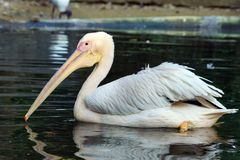 A close-up of a white pelican royalty free stock photos