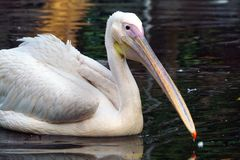 A close-up of a white pelican stock images