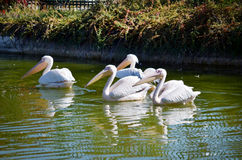 Close up of a white pelicans in the lake Royalty Free Stock Photography