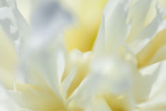 Close-up of white peony Royalty Free Stock Photography