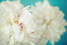 Close-up of a white peony  flowers Stock Photos