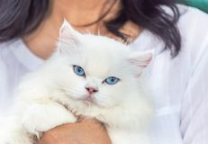 Close up white persian cat looking with blue eyes stock image