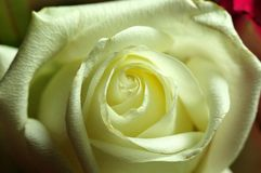 Macrophotography of a white rose blossom. Close-up of white petals of a tea hybrid rose flower Royalty Free Stock Photos