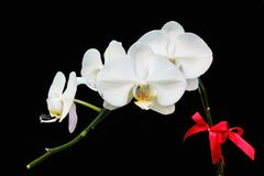 Close up white Phalaenopsis Blume orchid isolated color background. The generic name from Greek means φαλαινα `Phalaen[a]-like` and is probably a Stock Photo