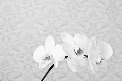 Close up white phalaenopsis flowers orchid on texture background Royalty Free Stock Photo