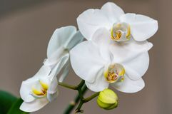 Close-up of white phalaenopsis orchid flower branch. Flower known as the Moth Orchid or Phal on the light grey brown bokeh backgro royalty free stock image