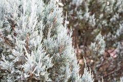 Close up white pine tree Stock Photography