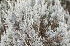 Close up white pine tree Royalty Free Stock Photography