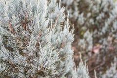 Close up white pine tree Royalty Free Stock Photos