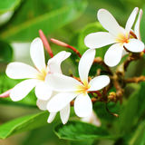 Close up white, pink and yellow plumeria Royalty Free Stock Photography