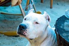 Close up white pitbull dog stock photo