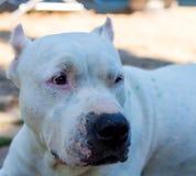 Close up white pitbull dog Stock Images