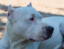 Close up white pitbull dog Royalty Free Stock Image