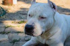 Close up white pitbull dog Royalty Free Stock Photo