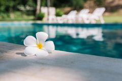 Close up White Plumeria flower on the pool edge blur beach bed background. Close up White Plumeria flower on the pool edge with water, beach bed and blur royalty free stock images