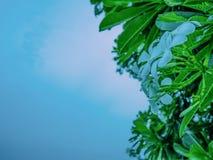 Close up White Plumeria flowers on Plumeria Tree stock image