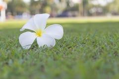 Close up of white plumeria Stock Image