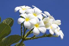 Close up of white plumeria Royalty Free Stock Image