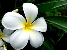 Close up of white plumeria Royalty Free Stock Photography
