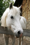 Close-up of a white pony horse. Pony looking over the corral door Royalty Free Stock Photo