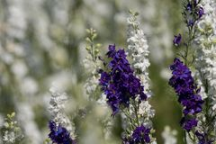 Closeup of purple and white delphiniums in field at Wick, Pershore, Worcestershire, UK. Petals are used to make wedding confetti. Close up of white and purple stock image