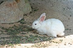 White rabbit in the rock cavity. Close up White rabbit in the rock cavity stock photography