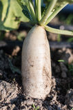 Close up white radish growing in field plant agriculture farm. Royalty Free Stock Photo