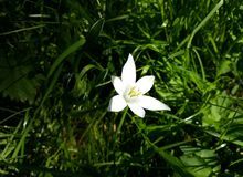 Close up of White Rain Lily, Zephyranthes Candida flower. Zephyranthes Candida, with common names that include Autumn Zephyrlily, White Windflower and Peruvian stock image