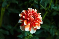 Close up white and red dahlia flower growing outdoors stock photo